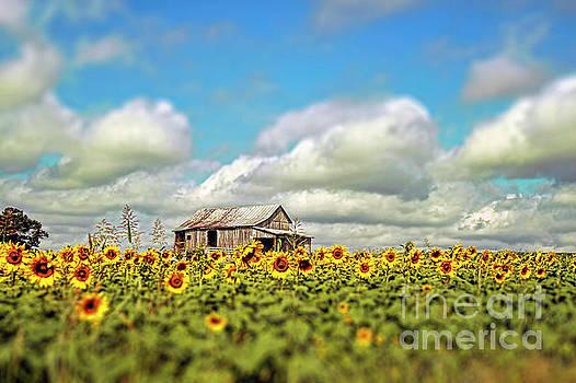 The Sunflower Farm by Darren Fisher