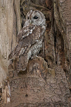 The Tawny Owl by Sue Fulton