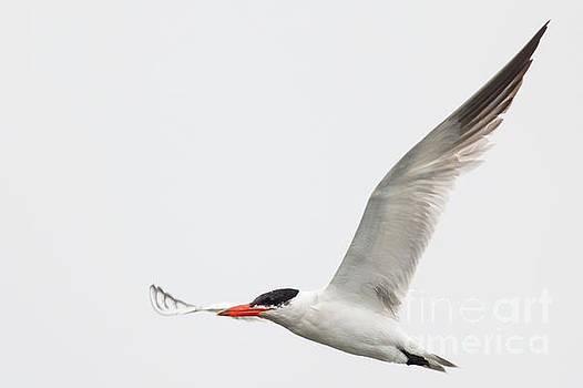 The Tern by Natural Focal Point Photography