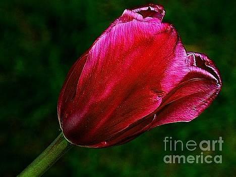 The Tulip by Elfriede Fulda