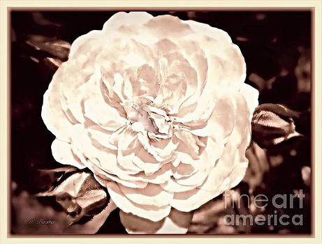 The Vintage English Rose by Kimberlee Baxter