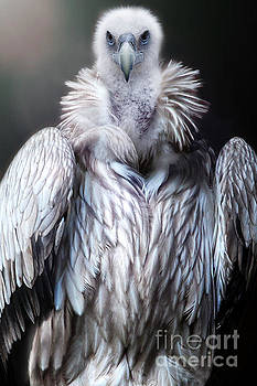 The vulture by Christine Sponchia