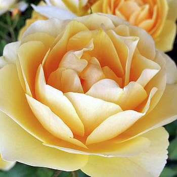 The Yellow Rose by Marinela Feier