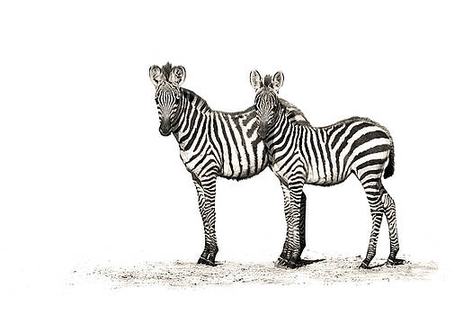 The Zebra Foals by Mario Moreno