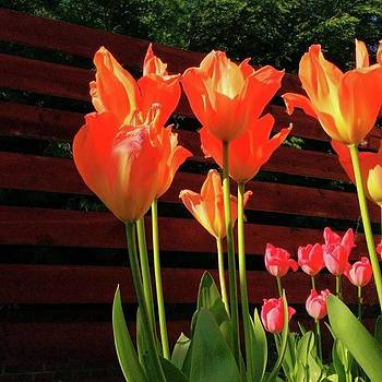 These Are #tulips From My Back Garden by Dante Harker