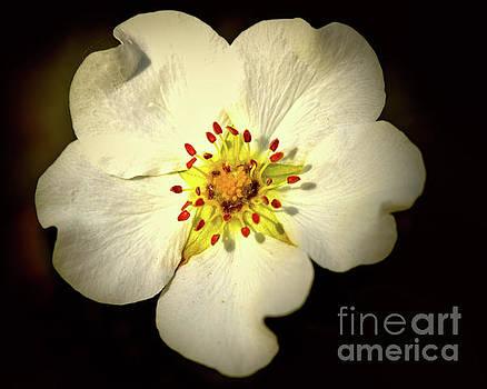 Thimbleberry Bloom  by Baggieoldboy