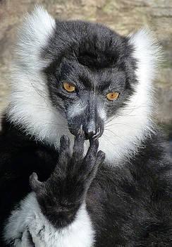 Thinking Black And White Ruffed Lemur by Margaret Saheed