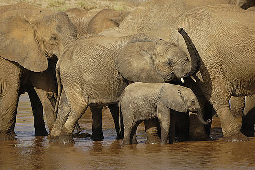 Michele Burgess - Thirsty Elephants