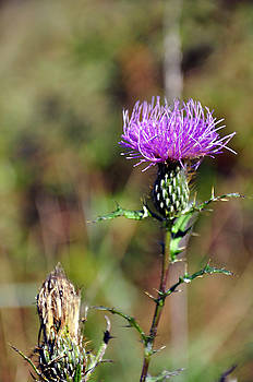 Thistle 1 by Tim Stringer