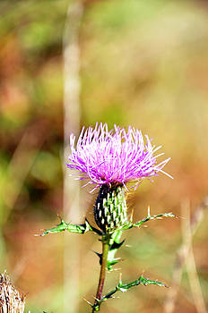 Thistle 2 by Tim Stringer