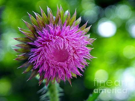 Thistle flowerhead by Diane McDougall
