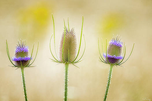 Thistle Heads by Dee Browning