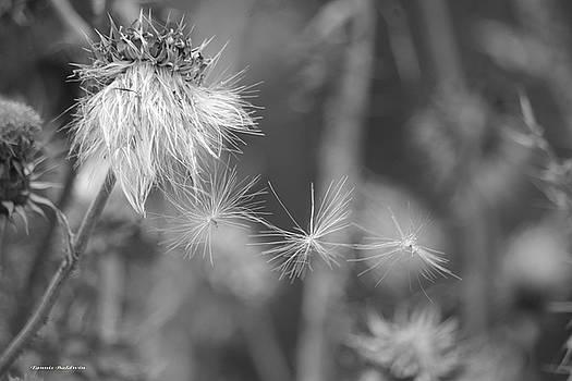 Tannis  Baldwin - Thistle Seeds 2 BW