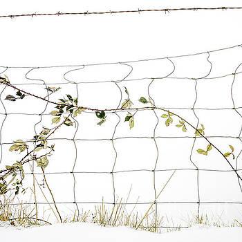 BERNARD JAUBERT - Thorny bramble in a snow field