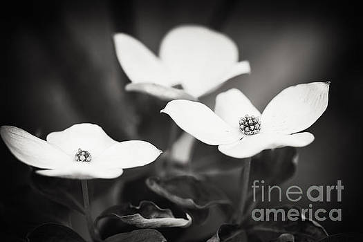 Lisa McStamp - Three Blooms of the Dogwood