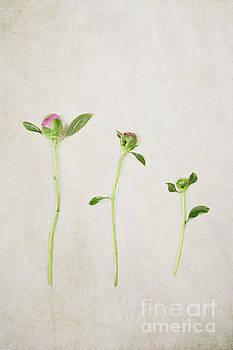 Three Buds by Stephanie Frey