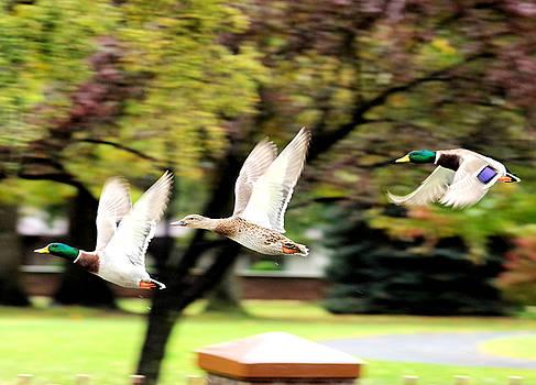 Three ducks in flight by Jeff Swan