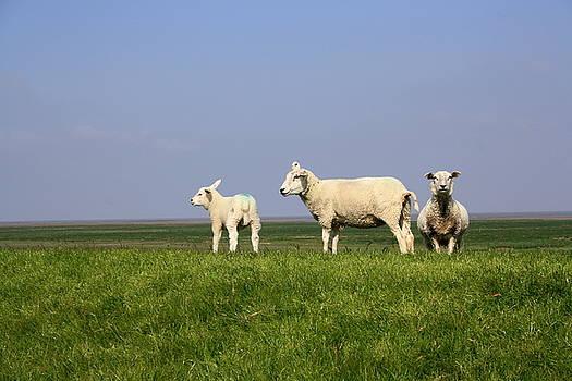 Three generations female sheep by Fun Cards