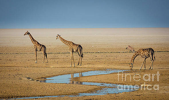 Three Giraffes by Inge Johnsson