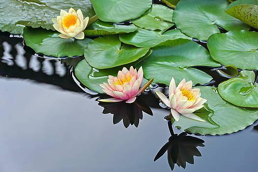 Byron Varvarigos - Three Lovely Hardy Waterlily Blossoms