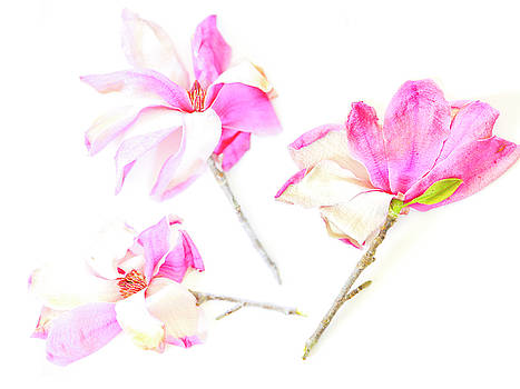 Three Magnolia Flowers by Linde Townsend