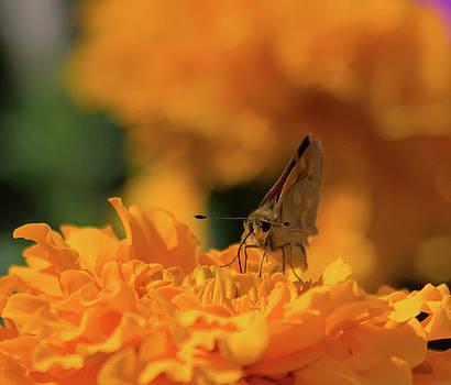 Woodland Skipper Butterfly 6 by Marilyn Wilson