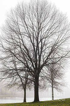 Three Trees In Fog by Tamara Becker
