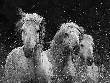 Three White Horses Spalsh by Carol Walker