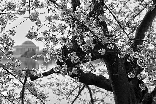 Tidal Basin Blossoms by Mitch Cat