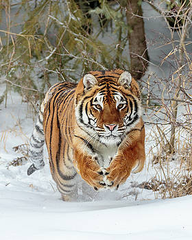Tiger Attack D9965 by Wes and Dotty Weber