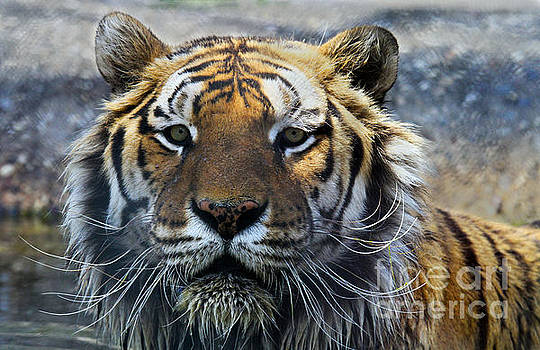 Tiger Eyes by Roger Becker