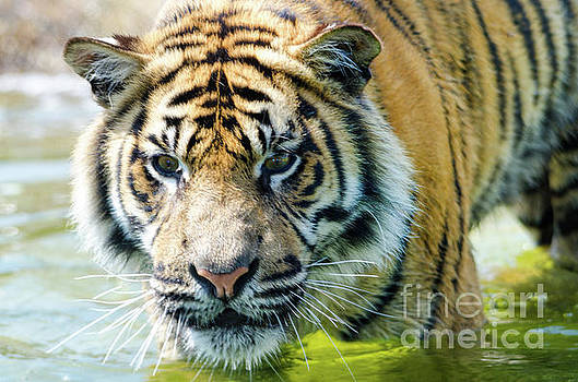 Tiger in the water by Steev Stamford