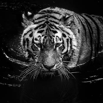 Tiger in water by Lukas Holas