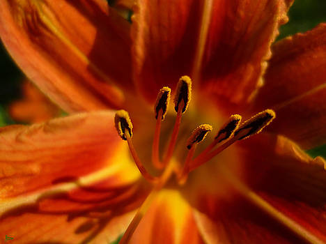 Tiger Lily by Jeff Breiman