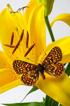 Tiger Lily With Butterfly by Garry Gay