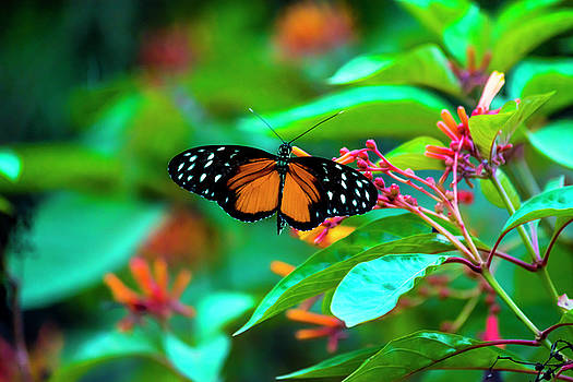 Tiger Longwing Butterfly by David Morefield