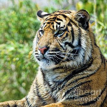 Tiger on guard by Steev Stamford