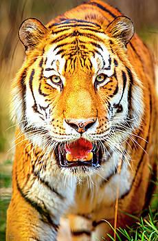 Tiger on the hunt by David Millenheft