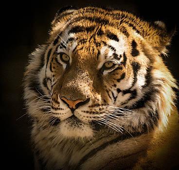 Tiger Portrait by Chris Boulton