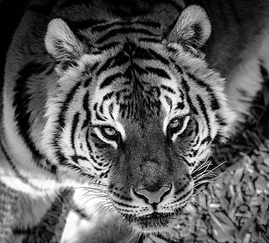 Tiger Stare Down by Jason Moynihan