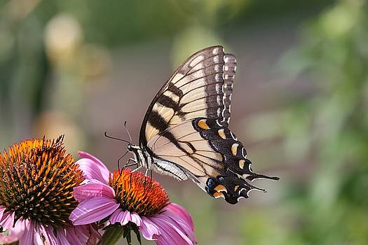 Tiger Swallowtail Butterfly by DVP Artography