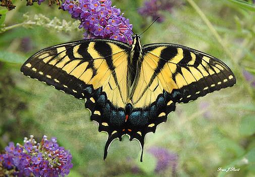 Tiger Swallowtail by Fran J Scott