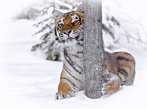 Tiger Winter Wonderland by Athena Mckinzie