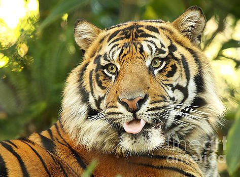 Tiger With Playful Expression by Max Allen