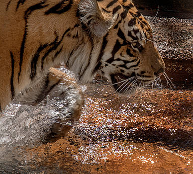Tigeress wading in the pool by Tito Santiago