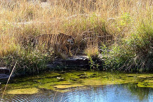 Tigress by the Stream by Ramabhadran Thirupattur