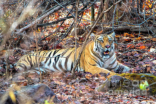 Tigress in the woods by Pravine Chester