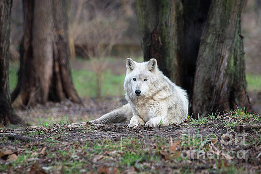Timber Wolf by Andrea Silies