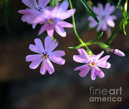 Tiny Pink Flowers by John S