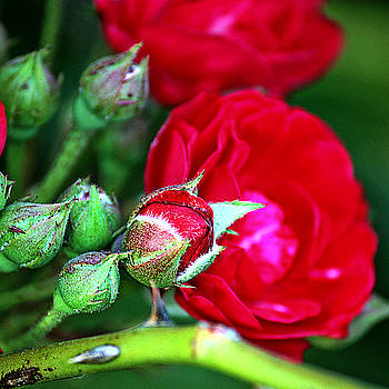 Tiny Red Rosebuds by KayeCee Spain